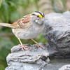 DSC_1367 White-throated Sparrow Apr 30 2017