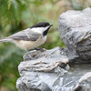 DSC_1331 Black-capped Chickadee Apr 30 2017