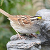 DSC_1370 White-throated Sparrow Apr 30 2017