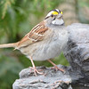DSC_1368 White-throated Sparrow Apr 30 2017