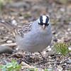 DSC_1346 White-crowned Sparrow Apr 30 2017
