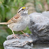 DSC_1366 White-throated Sparrow Apr 30 2017