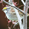 DSC_1457 White-throated Sparrow Apr 30 2017