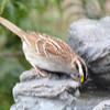 DSC_1365 White-throated Sparrow Apr 30 2017