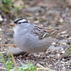 DSC_1345 White-crowned Sparrow Apr 30 2017
