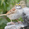 DSC_1369 White-throated Sparrow Apr 30 2017