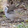 DSC_1347 White-crowned Sparrow Apr 30 2017