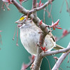 DSC_1427 White-throated Sparrow Apr 30 2017