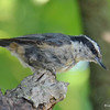 DSC_5793 Red-breasted Nuthatch Aug 1 2017