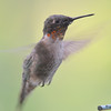 DSC_6013 Ruby-throated Hummingbird Aug 6 2017