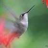 DSC_5997 Ruby-throated Hummingbird Aug 6 2017