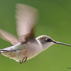DSC_7127 Ruby-throated Hummingbird Aug 23 2017