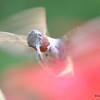 DSC_5995 Ruby-throated Hummingbird Aug 6 2017