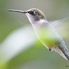 DSC_7140 Ruby-throated Hummingbird Aug 23 2017