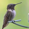 DSC_6012 Ruby-throated Hummingbird Aug 6 2017