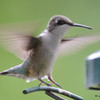 DSC_7138 Ruby-throated Hummingbird Aug 23 2017