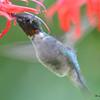 DSC_5994 Ruby-throated Hummingbird Aug 6 2017