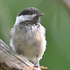 DSC_6877 Black-capped Chickadee Aug 17 2017
