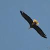 DSC_6459 Bald Eagle Aug 13 2017