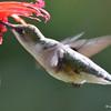 DSC_5986 Ruby-throated Hummingbird Aug 6 2017