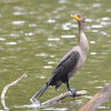 ESC_2655 Double-crested Cormorant Aug 31 2017