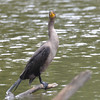 ESC_2658 Double-crested Cormorant Aug 31 2017