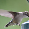DSC_7151 Ruby-throated Hummingbird Aug 23 2017