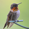 DSC_6016 Ruby-throated Hummingbird Aug 6 2017