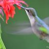 DSC_6005 Ruby-throated Hummingbird Aug 6 2017
