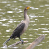 ESC_2654 Double-crested Cormorant Aug 31 2017