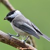 DSC_6887 Black-capped Chickadee Aug 17 2017