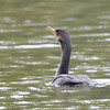 ESC_2667 Double-crested Cormorant Aug 31 2017