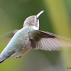 DSC_7139 Ruby-throated Hummingbird Aug 23 2017