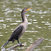 ESC_2656 Double-crested Cormorant Aug 31 2017