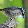 DSC_5792 Red-breasted Nuthatch Aug 1 2017