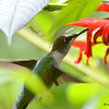 DSC_7119 Ruby-throated Hummingbird Aug 23 2017