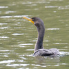 ESC_2665 Double-crested Cormorant Aug 31 2017