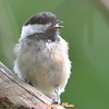 DSC_6876 Black-capped Chickadee Aug 17 2017