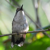 DSC_6006 Ruby-throated Hummingbird Aug 6 2017