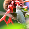 DSC_7117 Ruby-throated Hummingbird Aug 23 2017
