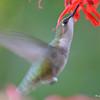 DSC_6001 Ruby-throated Hummingbird Aug 6 2017