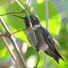 DSC_6017 Ruby-throated Hummingbird Aug 6 2017