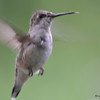 DSC_7086 Ruby-throated Hummingbird Aug 23 2017