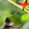 DSC_7118 Ruby-throated Hummingbird Aug 23 2017