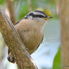 DSC_6020 Red-breasted Nuthatch Aug 6 2017