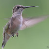 DSC_7084 Ruby-throated Hummingbird Aug 23 2017