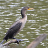 ESC_2662 Double-crested Cormorant Aug 31 2017