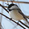 DSC_0880 Black-capped Chickadee Feb 18 2017