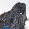 DSC_0270 Great Gray Owl Feb 3 2017