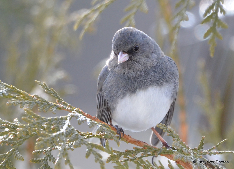 DSC_0899 Dark-eyed Junco Feb 18 2017